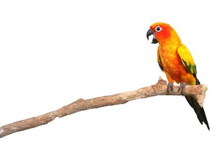 loro: Domingo Conure Parrot en una rama de Screaming Con Copia del Espacio sobre fondo blanco para f�cil extracci�n