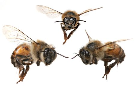 worker bees: 3 Different Angles of a North American Honey Bee With Stinger Attached