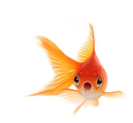 peces de colores: Goldfish Con Conmocionados Mira en su rostro. Concepto de muestra sorpresa, problemas o preocupaciones