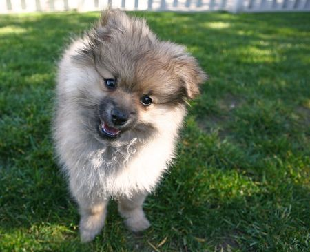 head tilted: Sweet Adorable Pomeranian Puppy Looking at the Viewer With Head Tilted