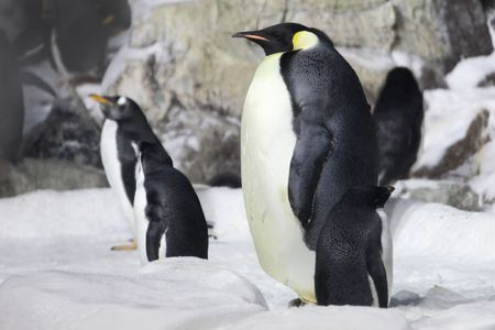 Emperor Penguin Looking On- Note Shot in High ISO Due to Low Light Conditions Stock Photo - 4795296