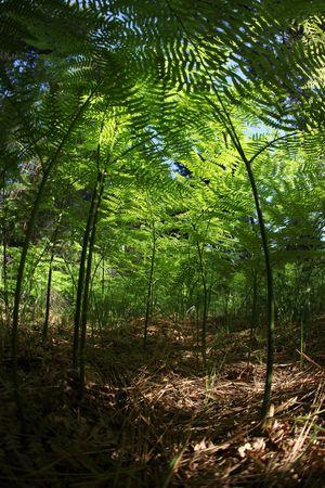 vertica: Miniature Fern Forest Amongst Fallen Pine Needles in the Wild: Fisheye Lens Shot