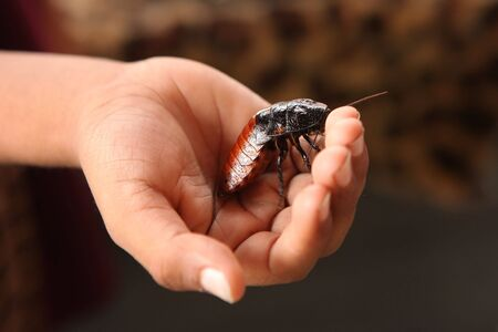 madagascar hissing cockroach: Hissing Madagascar Cockroach in a Childs Hand Stock Photo