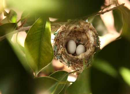 2 Hummingbird Eggs in a Nest Hanging Among the Trees photo