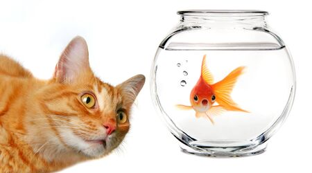 calico: Calico Cat Watching a Gold Fish  in a Fishbowl Stock Photo