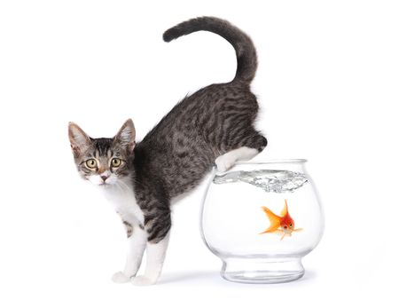 Kitten On a Fishbowl With Shocked Goldfish in Water