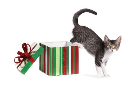 grey haired: Kitten Coming Out of a Christmas Gift Box Stock Photo