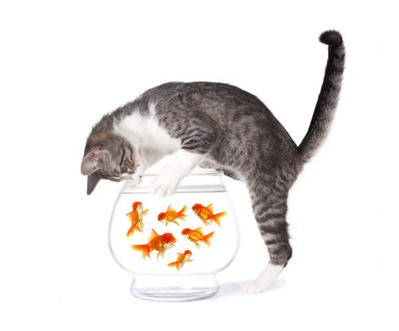 gato jugando: Kitten la pesca de peces de colores en un cuenco de Acuario