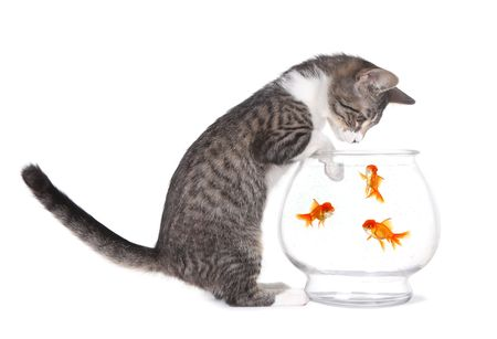 dorombolás: Curious Kitten Watching Fish Swim With Paws on Aquarium
