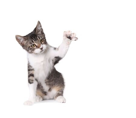 Pretty Kitten Pawing at Something on White Background