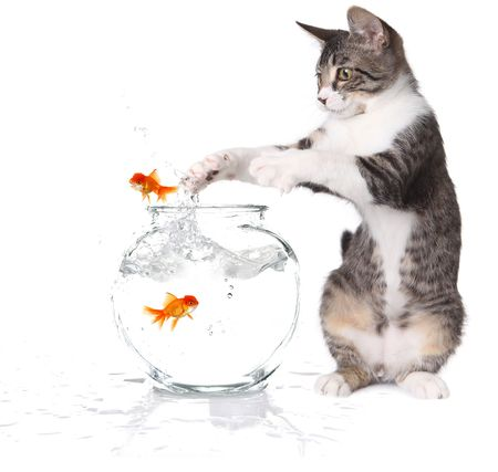 Kitten Trying to Catch Jumping Goldfish on White Background Stock Photo