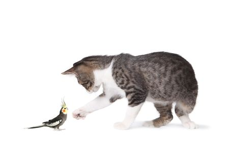 viewable: Image of tabby cat and cockatiel looking at each other, full length viewable and in profile. Horizontally framed shot.