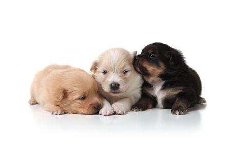 Three Sweet and Cuddly Pomeranian Newborn Puppies