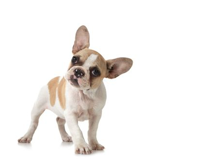 wrinkely: Adorable Curious Puppy Dog With Copy Space on White