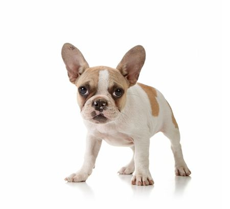 stitting: Interested Puppy on White Background Studio Shot