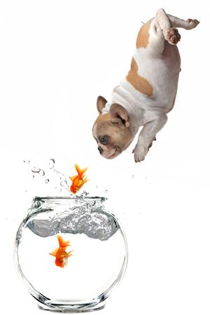 Humorous Image of a Puppy Following Jumping Goldfish Into a Fishbowl Stock Photo - 5853592