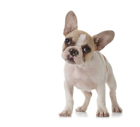 Interested Adorable Puppy With Big Ears Standing Up Stock Photo - 5853672
