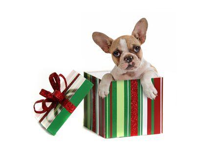 christmas gift: Puppy Dog Inside a Christmas Gift Studio Shot Stock Photo
