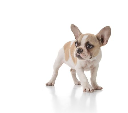 Sweet Timid Puppy Dog Looking to the Side on White Background Stock Photo - 5853673