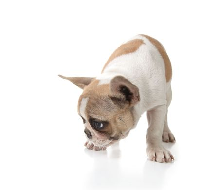Puppy Dog Sniffing on the Ground Shot in Studio on White Stock Photo - 5853674