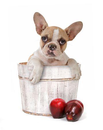 stitting: Sweet Innocent Puppy Dog in Apple Barrel on White Background