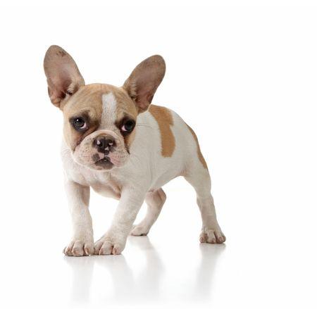 Dolce cucciolo Innocenzo Looking Lonely su sfondo bianco  Archivio Fotografico - 5853717