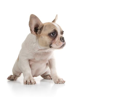 stitting: Pudgy Bull Dog Puppy Looking to the Side With Copy Space on White