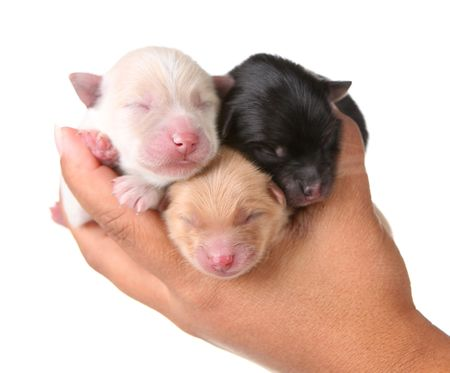 pomeranian: Newborn Puppies Sleeping on the Palm of a Human Hand