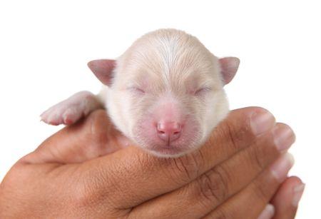 人間の手で白い新生児ポメラニアン子犬 写真素材