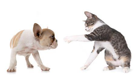 chiot et chaton: Chien de chiots ludique et Kitten sur fond blanc  Banque d'images