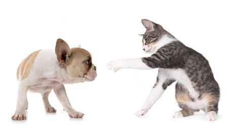 gray cat: Playful Puppy Dog and Kitten on White Background
