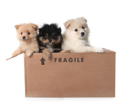 Three Adorable Puppies in a Cardboard Box Marked as Fragile photo