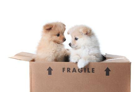 pomeranian: Two Pomeranian Puppies Inside a Cardboard Box On White