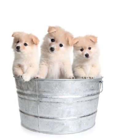 tub: Lindos cachorros en un viejo Washtub de plata sobre fondo blanco Foto de archivo