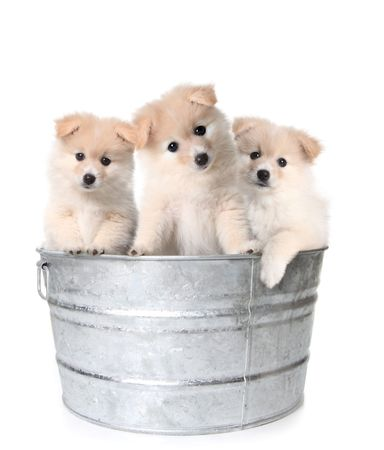 Trio of Adorable Puppies in a Washtub photo