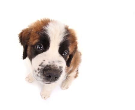 Innocent Saint Bernard Puppy Looking Sweet and Innocent on White Background Stock Photo - 6864451