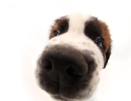 Nosy Sniffing Saint Bernard Puppy on White Background With Distorted Features Stock Photo - 6864429