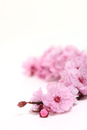 plum flower: Pretty Pink Cherry Blossoms of Spring With Extreme Depth of Field With Copy Space for Text