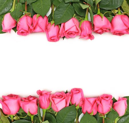 pink and green: Pink Roses Lined Up as a Border on a White Background