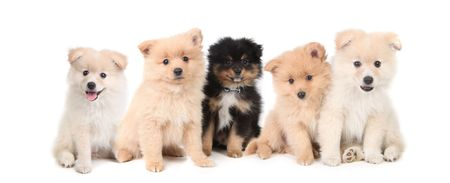 Adorable Pomeranian Puppies LIned up on White Background photo