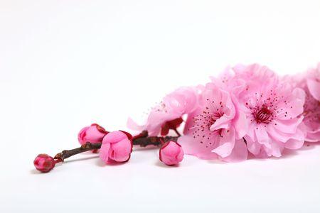 cerisier fleur: Gros plan des fleurs de fleurs Cherry rose avec espace de copie de texte