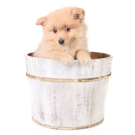 curiously: Innocent  Puppy in a Barrel Looking Curiously at the Viewer