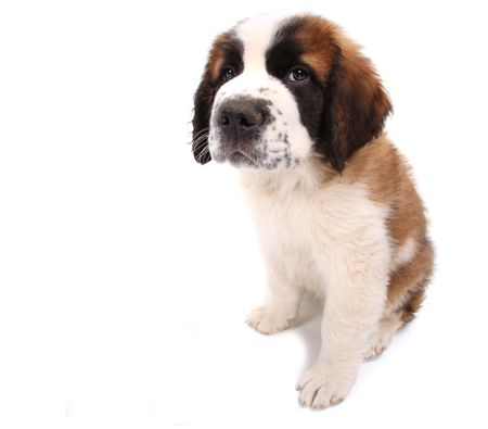 Little Saint Bernard Puppy Looking Sad and Wobegone on White Background Stock Photo - 6864430