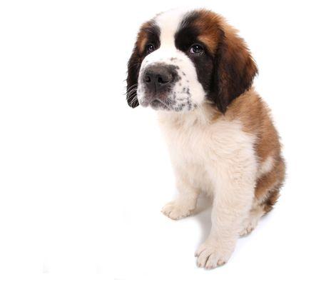 Little Saint Bernard Puppy Looking Sad and Wobegone on White Background Stock Photo - 6864430