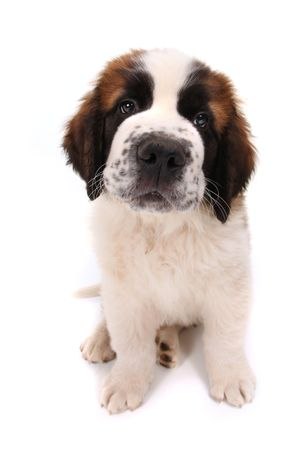 Saint Bernard Puppy Closeup With Sad Heartwrenching Eyes on White Background Stock Photo