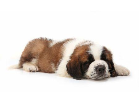 Sleeping Saint Bernard Puppy Lying on a  White Background Stock Photo - 6864388