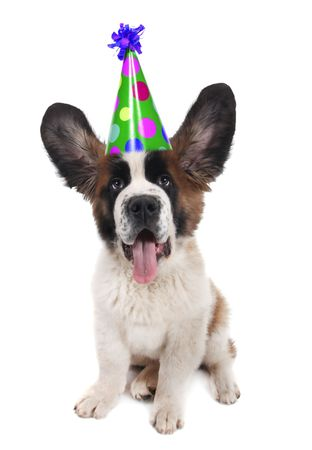 Funny Saint Bernard With a Birthday Hat on With Ears Up Stock Photo