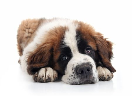 Saint Bernard Puppy Lying Down With Sweet Expression photo