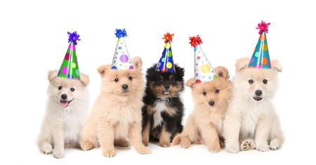 Group of Pomeranian Puppies Celebrating a Birthday on White Background Фото со стока