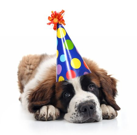 Mopey Saint Bernard Wearing a Polka Dot Birthday Silly Hat on White Stock Photo - 6903576